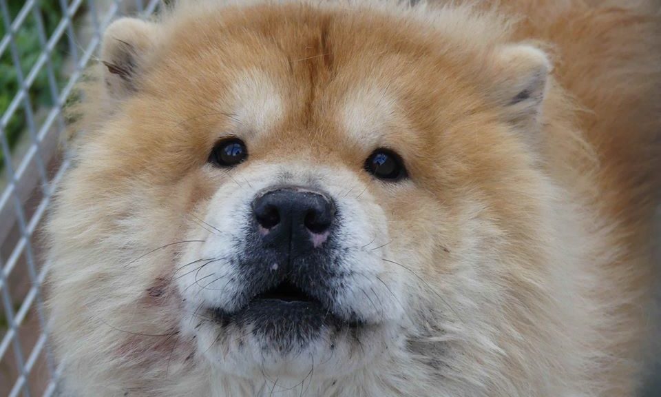 Chow Chows A L Adoption Chow Au Coeur Page 2